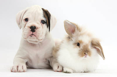 Boxer Puppy And Young Fluffy Rabbit Poster by Mark Taylor