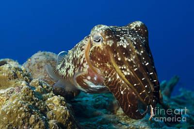 Broadclub Cuttlefish, Papua New Guinea Poster by Steve Jones