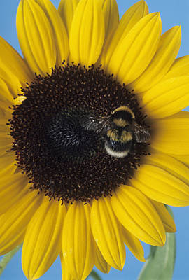 Bumble Bee Pollinating A Flower Poster