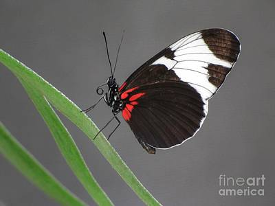 Poster featuring the photograph Butterfly  by Tam Ryan
