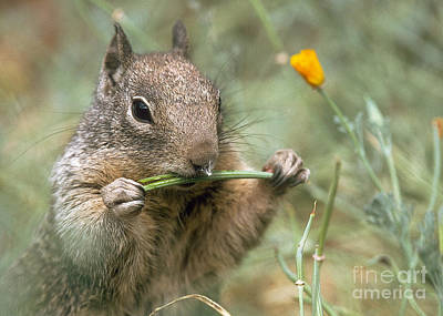 Poster featuring the photograph California Ground Squirrel by Doug Herr