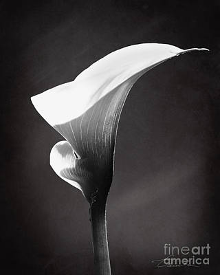 Calla Lily The Magnificent Beauty Poster by Danuta Bennett