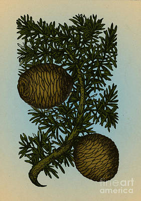 Cassia Tree, Alchemy Plant Poster by Science Source