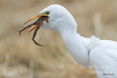 Cattle Egret With Dinner Poster