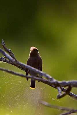Cedar Waxwing Perched In Tree Poster