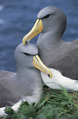 Chatham Albatross Thalassarche Eremita Poster by Tui De Roy
