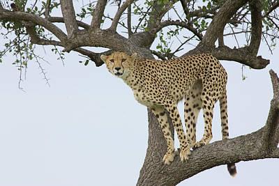 Cheetah Acinonyx Jubatus Female Poster by Suzi Eszterhas