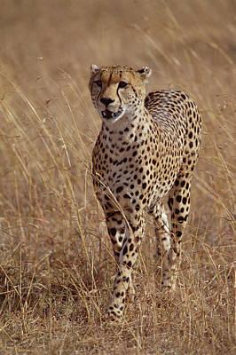 Cheetah Acinonyx Jubatus Portrait Poster by Gerry Ellis