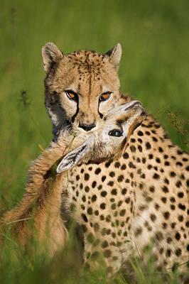 Cheetah Acinonyx Jubatus With Its Kill Poster by Suzi Eszterhas