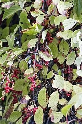 Chinese Schisandra (schisandra Chinensis) Poster