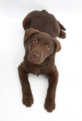 Chocolate Labrador Pup Poster by Mark Taylor
