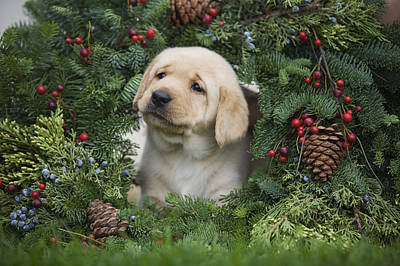 Christmas Puppy Poster by Ron Dahlquist - Printscapes