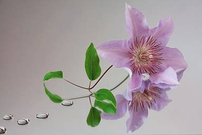 Clematis 'filigree' Poster by Shirley Mitchell