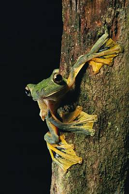 Close View Of A Wallaces Flying Frog Poster by Tim Laman