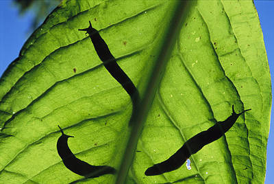 Close View Of Banana Slugs Silhouetted Poster by Joel Sartore