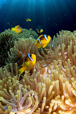 Clown Fish (amphiprion Bicinctus), St Johns Reef, Red Sea, Egypt Poster