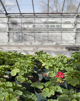 Colorful Geraniums In A Greenhouse Poster by Thom Gourley/Flatbread Images, LLC