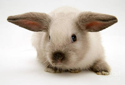 Colorpoint Baby Lop Rabbit Poster by Jane Burton