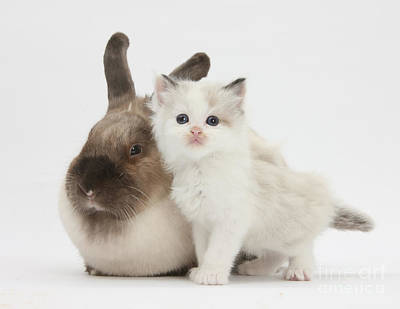 Colorpoint Kitten And Colorpoint Rabbit Poster by Mark Taylor