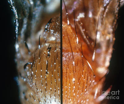 Comparing Drosophila Bristles Poster by Science Source