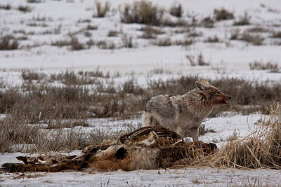 Coyote National Elk Refuge Poster