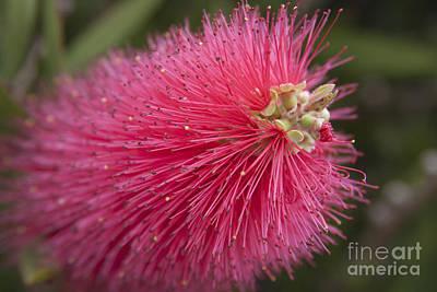 Crimson Bottlebrush - Callistemon Citrinus  Poster by Sharon Mau
