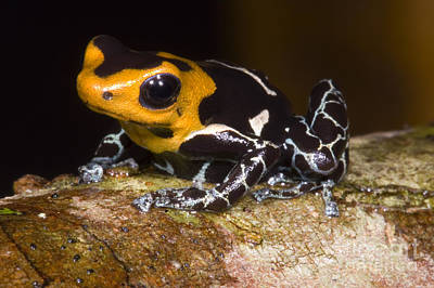 Crowned Poison Frog Poster by Dante Fenolio