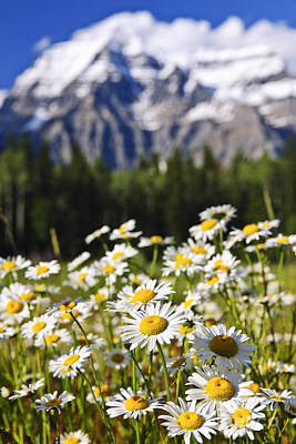 Daisies At Mount Robson Provincial Park Poster by Elena Elisseeva