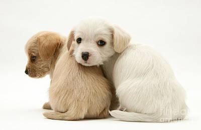 Dog Pups Poster by Jane Burton