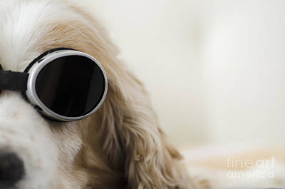 Dog With Sunglasses Poster by Mats Silvan