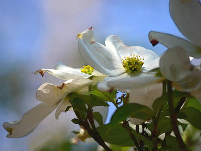 Dogwoods Against The Sky Poster by Sandi OReilly