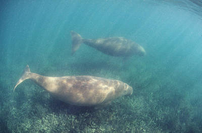 Dugongs Poster by Peter Scoones