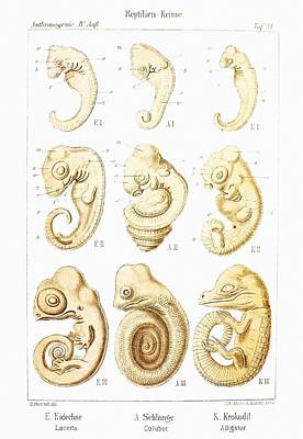 Embryonic Development, Historical Artwork Poster