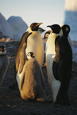 Emperor Penguins With Chick Poster by Doug Allan