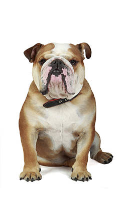 English Bulldog Poster by Mlorenzphotography