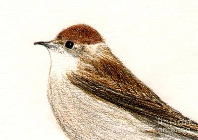 Poster featuring the drawing Female Blackcap  by Barbara Moignard