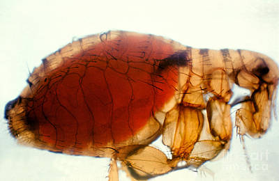 Flea Infected With Plague Poster by Science Source