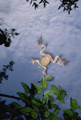 Foam Nest Tree Frog Polypedates Dennysi Poster by Mark Moffett