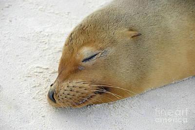 Galapagos Sea Lion Sleeping On Beach Poster