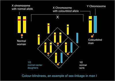 Genetics Of Colour Blindness, Diagram Poster