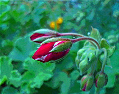 Geranium Flower Buds Macro Poster by Padre Art