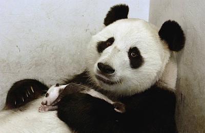 Giant Panda Ailuropoda Melanoleuca Xi Poster by Katherine Feng