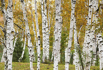 Golden Birches Poster