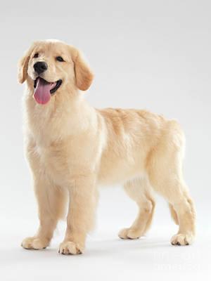 Golden Retriever Puppy Poster