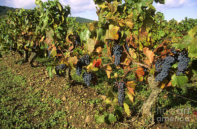 Grapes Growing On Vine Poster by Bernard Jaubert