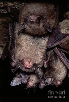Gray Bats Poster by Dante Fenolio