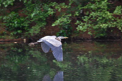 Great Blue Heron Flying Low Poster by Mary McAvoy