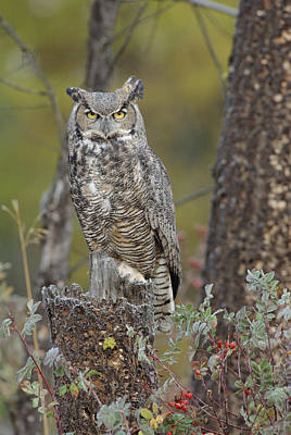 Great Horned Owl In Its Pale Form Poster