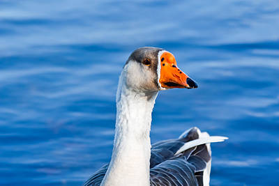 Poster featuring the photograph Greater White-fronted Goose 2 by Ann Murphy
