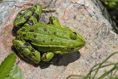 Green Frog Poster by Matthias Hauser